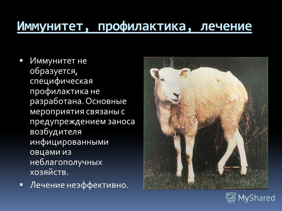 Иммунитет, профилактика, лечение Иммунитет не образуется, специфическая профилактика не разработана. Основные мероприятия связаны с предупреждением заноса возбудителя инфицированными овцами из неблагополучных хозяйств. Лечение неэффективно.