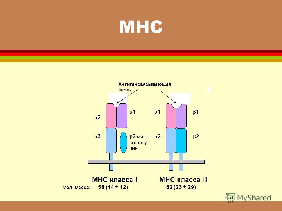МНС α2 α2 α3α3 α1α1 β 2 -мик- роглобу- лин α1α1 β1β1 α2α2 β2β2 Антигенсвязывающая щель МНС класса I МНС класса II Мол. масса: 56 (44 + 12) 62 (33 + 29)