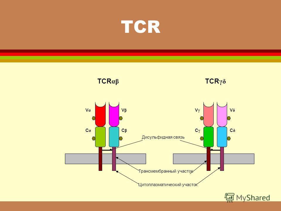 ТСR Vα Vα C α VβVβ CβCβ Дисульфидная связь Трансмембранный участок Цитоплазматический участок V γ VδVδ C γ CδCδ TCR αβ TCR γδ