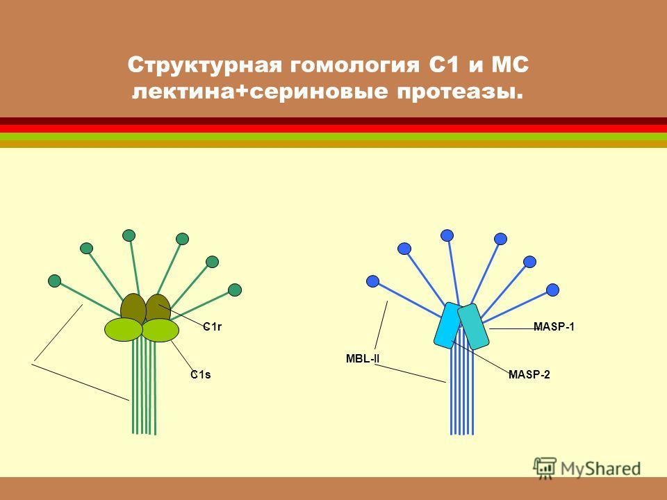 Структурная гомология С1 и МС лектина+сериновые протеазы. MBL-II C1s C1r MASP-2 MASP-1