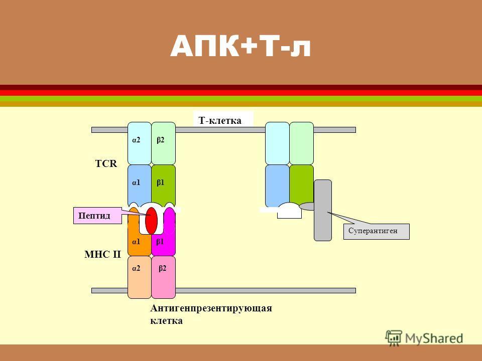 АПК+Т-л α1α1β1β1 α2 β2 α1 β1 α2 β2 TCR MHC II Пептид Суперантиген Т-клетка Антигенпрезентирующая клетка