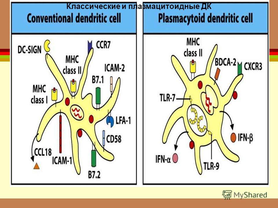 Классические и плазмацитоидные ДК