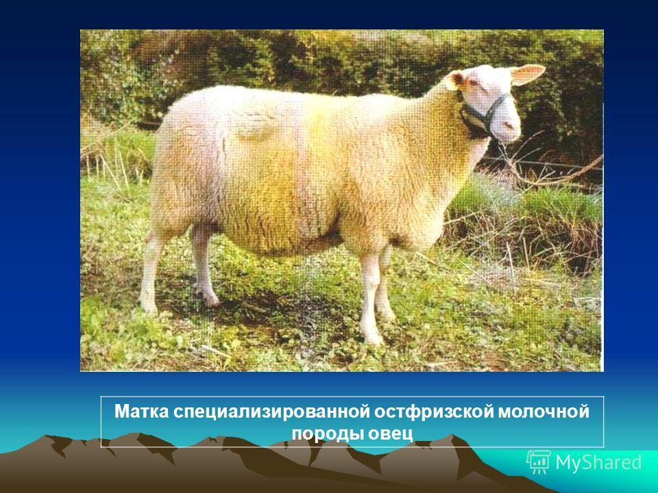 Матка специализированной остфризской молочной породы овец