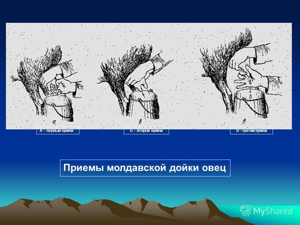 А – первый приемБ – второй приемВ –третий прием Приемы молдавской дойки овец