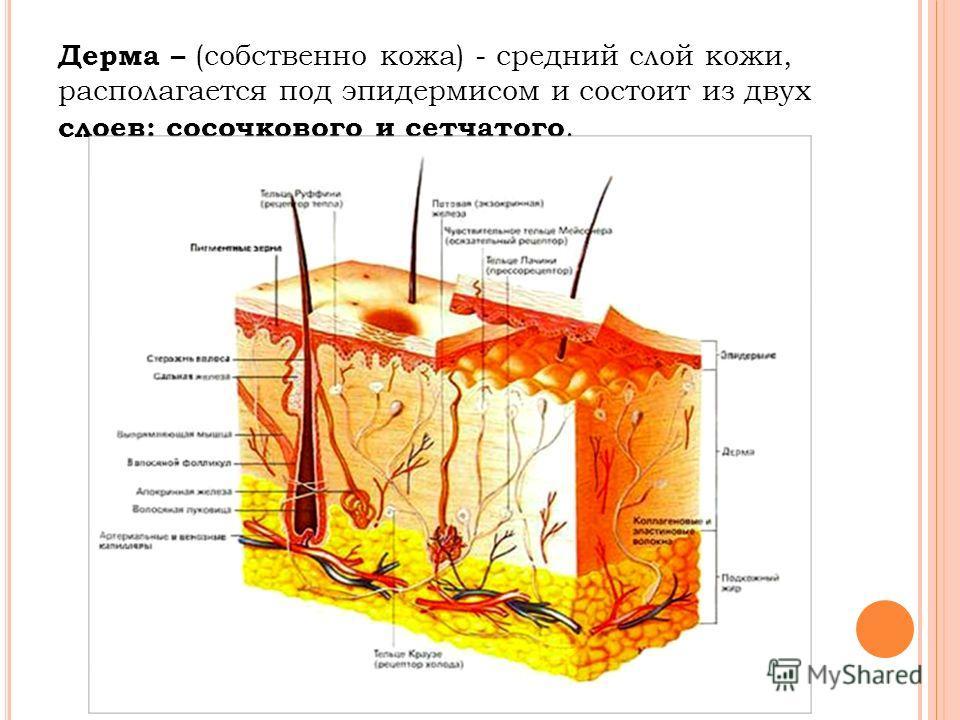 Дерма – (собственно кожа) - средний слой кожи, располагается под эпидермисом и состоит из двух слоев: сосочкового и сетчатого.