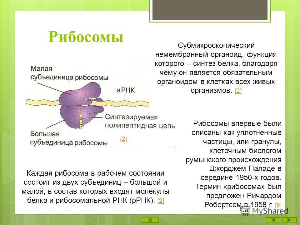 Рибосомы Субмикроскопический немембранный органоид, функция которого – синтез белка, благодаря чему он является обязательным органоидом в клетках всех живых организмов. [2] [2] Каждая рибосома в рабочем состоянии состоит из двух субъединиц – большой