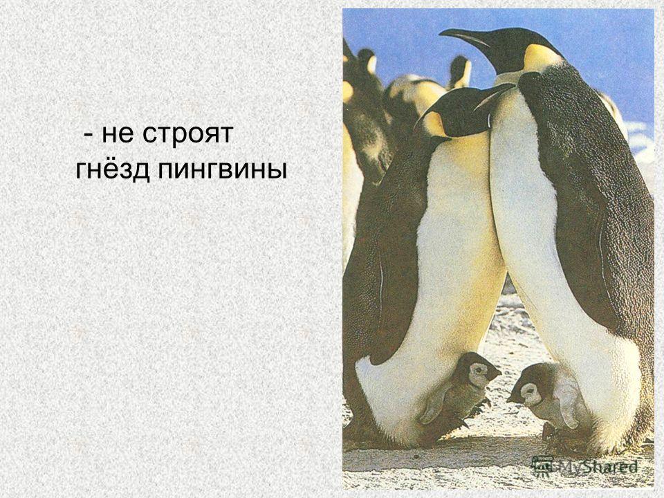 - не строят гнёзд пингвины
