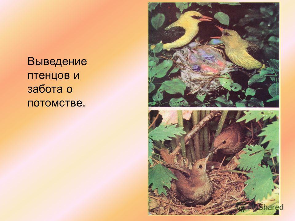 Выведение птенцов и забота о потомстве.