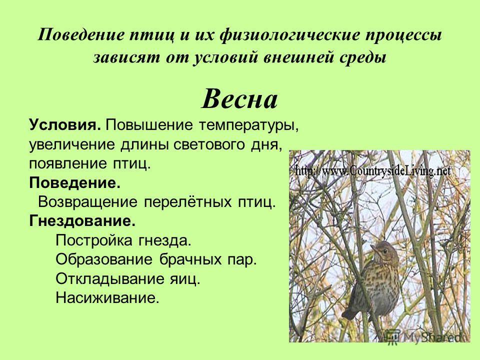 Поведение птиц и их физиологические процессы зависят от условий внешней среды Весна Условия. Повышение температуры, увеличение длины светового дня, появление птиц. Поведение. Возвращение перелётных птиц. Гнездование. Постройка гнезда. Образование бра