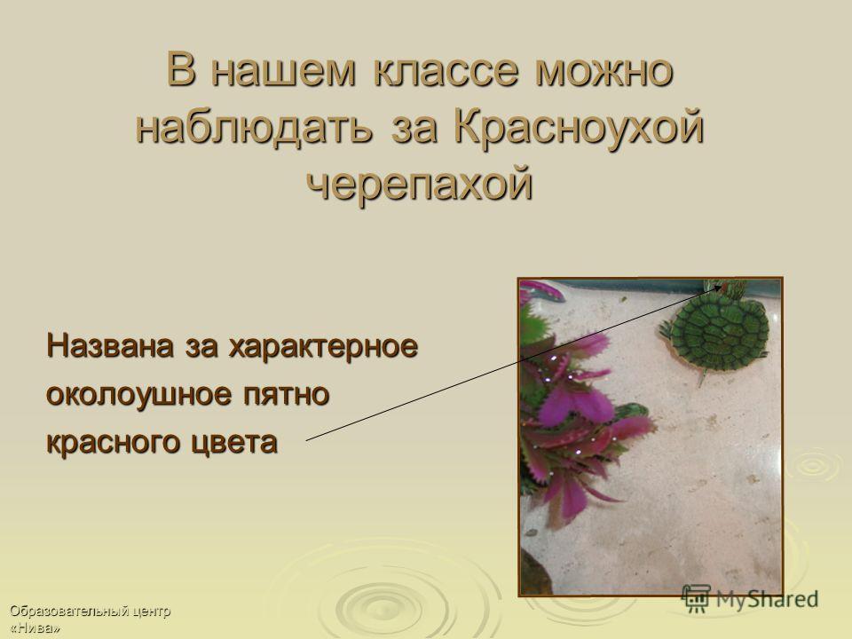 В нашем классе можно наблюдать за Красноухой черепахой Названа за характерное околоушное пятно красного цвета