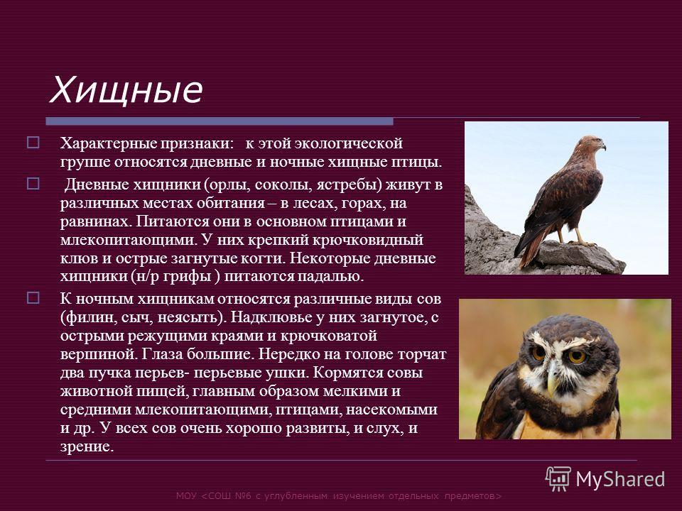 МОУ Хищные Характерные признаки: к этой экологической группе относятся дневные и ночные хищные птицы. Дневные хищники (орлы, соколы, ястребы) живут в различных местах обитания – в лесах, горах, на равнинах. Питаются они в основном птицами и млекопита