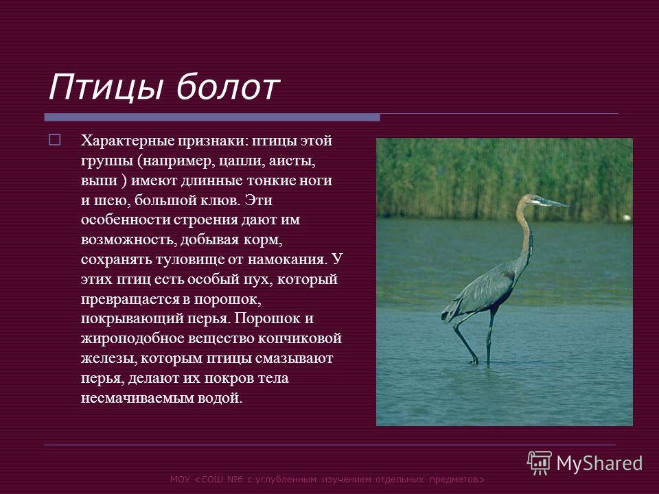 МОУ Птицы болот Характерные признаки: птицы этой группы (например, цапли, аисты, выпи ) имеют длинные тонкие ноги и шею, большой клюв. Эти особенности строения дают им возможность, добывая корм, сохранять туловище от намокания. У этих птиц есть особы