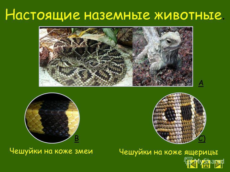 Цель урока Познакомиться с особенностями рептилий - первых наземных позвоночных животных Познакомиться с особенностями рептилий - первых наземных позвоночных животных. Задачи Раскрыть особенности строения и жизнедеятельности рептилий, связанные с наз