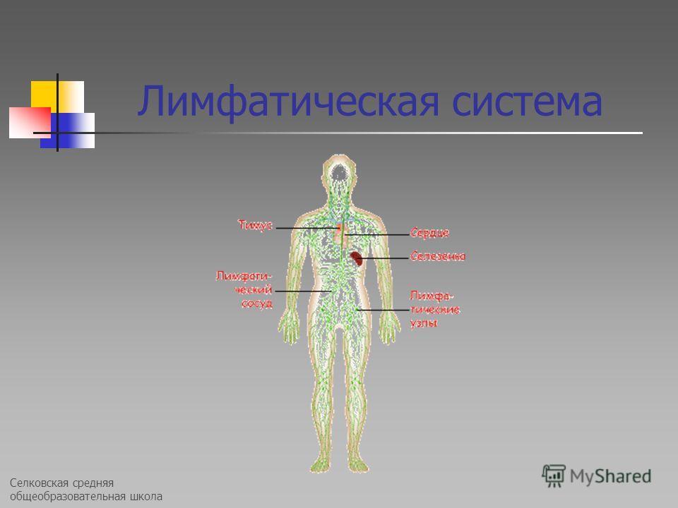 Селковская средняя общеобразовательная школа Лимфатическая система