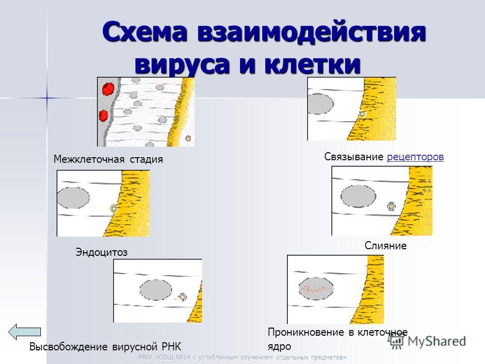 МОУ «СОШ 14 с углубленным изучением отдельных предметов» Схема взаимодействия вируса и клетки Межклеточная стадия Связывание рецептороврецепторов Эндоцитоз Слияние Высвобождение вирусной РНК Проникновение в клеточное ядро