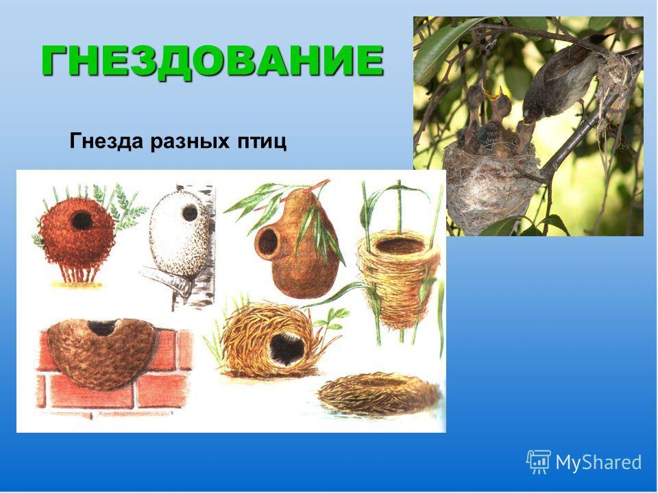 ГНЕЗДОВАНИЕ Гнезда разных птиц