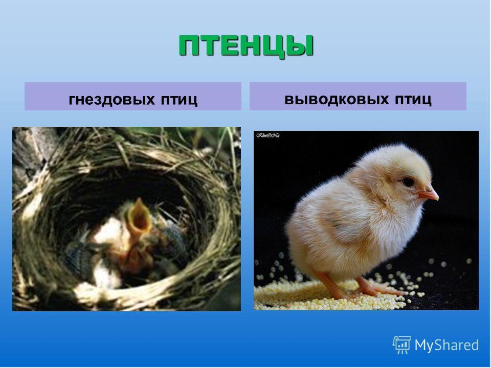 ПТЕНЦЫ гнездовых птицвыводковых птиц