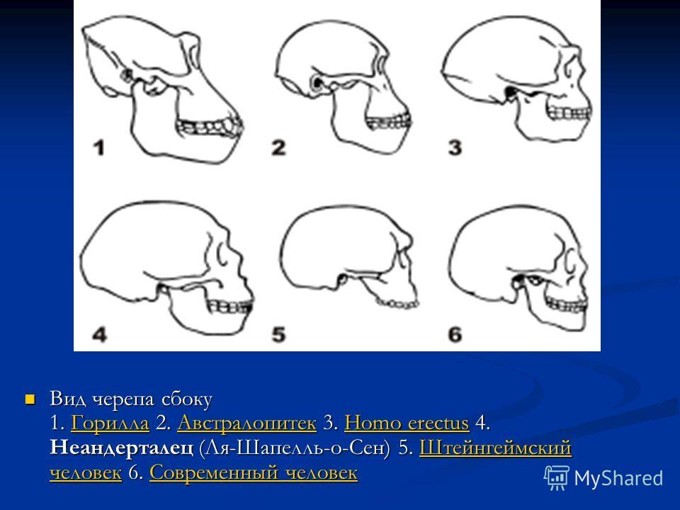 Вид черепа сбоку 1. Горилла 2. Австралопитек 3. Homo erectus 4. Неандерталец (Ля-Шапелль-о-Сен) 5. Штейнгеймский человек 6. Современный человек Вид черепа сбоку 1. Горилла 2. Австралопитек 3. Homo erectus 4. Неандерталец (Ля-Шапелль-о-Сен) 5. Штейнге