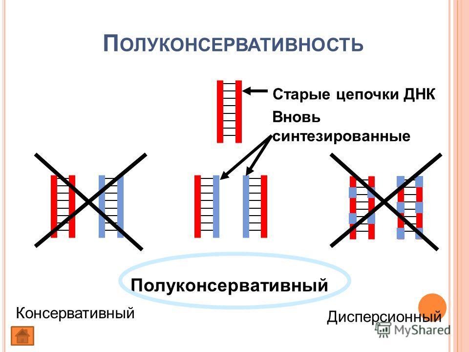 П ОЛУКОНСЕРВАТИВНОСТЬ Полуконсервативный Консервативный Дисперсионный Старые цепочки ДНК Вновь синтезированные