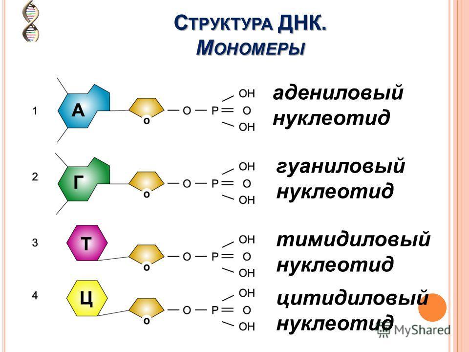адениловый нуклеотид гуаниловый нуклеотид тимидиловый нуклеотид цитидиловый нуклеотид С ТРУКТУРА ДНК. М ОНОМЕРЫ