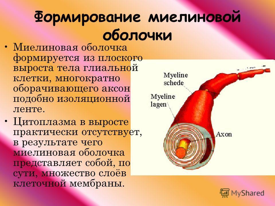 Формирование миелиновой оболочки Миелиновая оболочка формируется из плоского выроста тела глиальной клетки, многократно оборачивающего аксон подобно изоляционной ленте. Цитоплазма в выросте практически отсутствует, в результате чего миелиновая оболоч