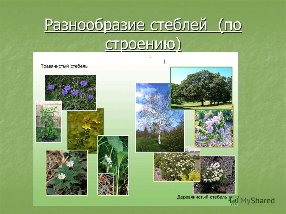 Разнообразие стеблей (по строению)