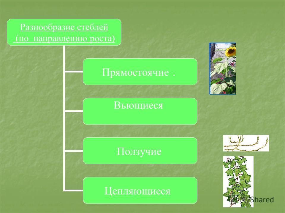 Разнообразие стеблей (по направлению роста) Прямостоячие. Вьющиеся Ползучие Цепляющиеся