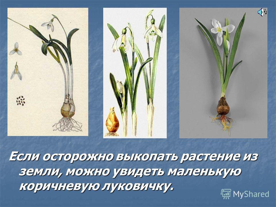 Если осторожно выкопать растение из земли, можно увидеть маленькую коричневую луковичку.