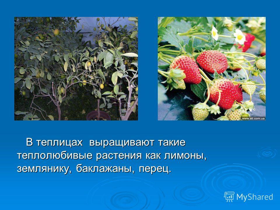 В теплицах выращивают такие теплолюбивые растения как лимоны, землянику, баклажаны, перец. В теплицах выращивают такие теплолюбивые растения как лимоны, землянику, баклажаны, перец.