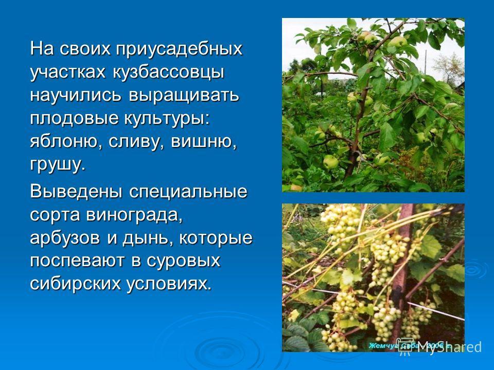 На своих приусадебных участках кузбассовцы научились выращивать плодовые культуры: яблоню, сливу, вишню, грушу. Выведены специальные сорта винограда, арбузов и дынь, которые поспевают в суровых сибирских условиях.