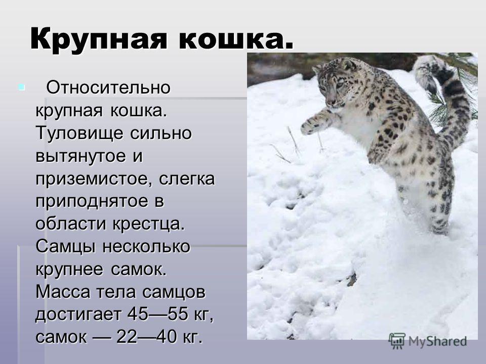 Крупная кошка. Относительно крупная кошка. Туловище сильно вытянутое и приземистое, слегка приподнятое в области крестца. Самцы несколько крупнее самок. Масса тела самцов достигает 4555 кг, самок 2240 кг. Относительно крупная кошка. Туловище сильно в