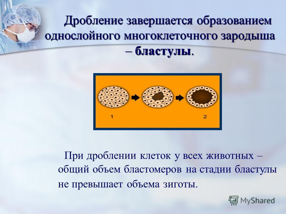 Дробление завершается образованием однослойного многоклеточного зародыша – бластулы. Дробление завершается образованием однослойного многоклеточного зародыша – бластулы. При дроблении клеток у всех животных – общий объем бластомеров на стадии бластул