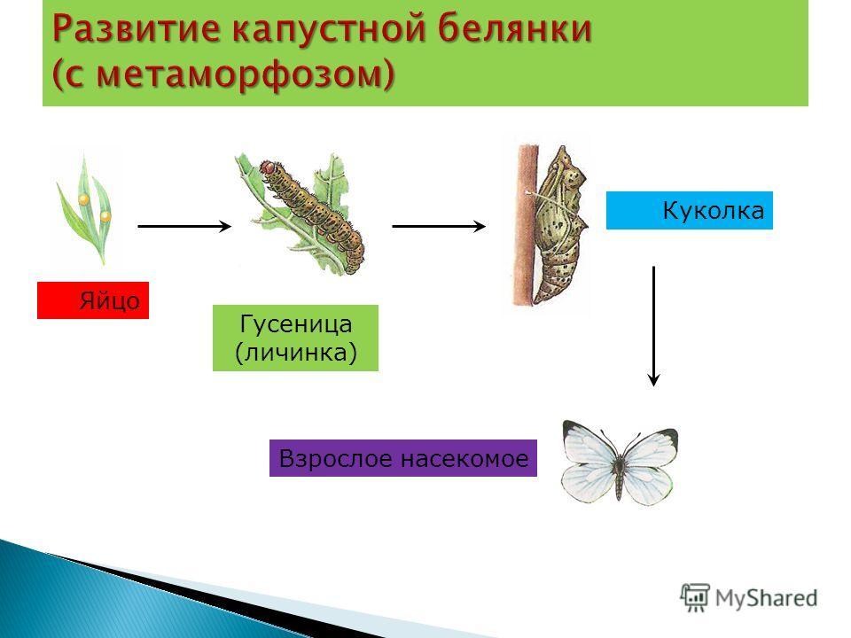 Яйцо Гусеница (личинка) Куколка Взрослое насекомое