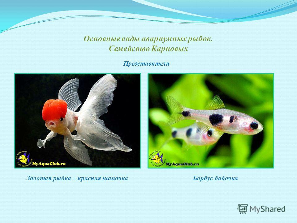 Основные виды авариумных рыбок. Семейство Вьюновые Акантофтальмус Представители