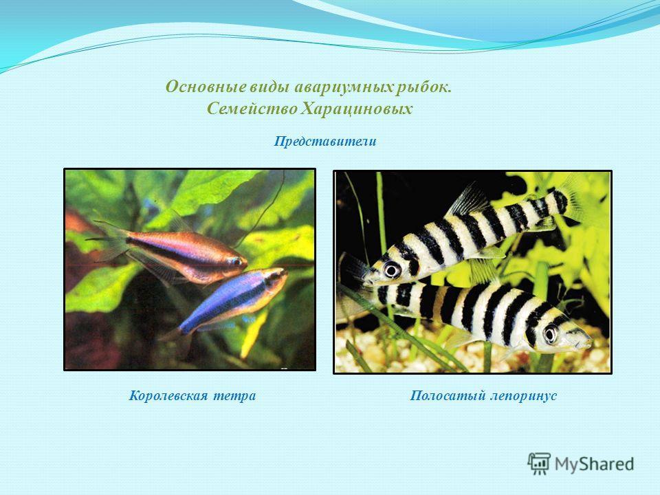 Основные виды авариумных рыбок. Семейство Пецилиевых МеченосецГуппи Представители