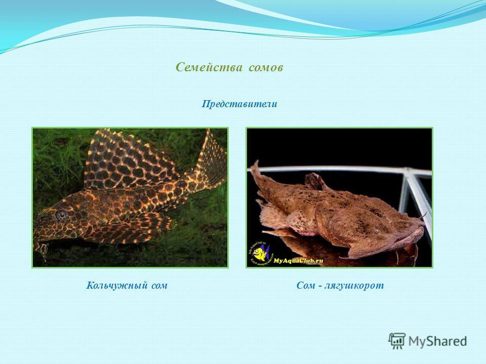 Основные виды авариумных рыбок. Семейство Цихлидов Карликовые цихлеиды Рыба - клоун Представители
