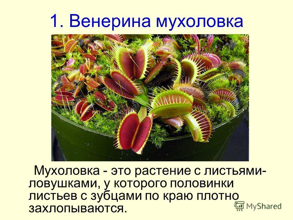 1. Венерина мухоловка Мухоловка - это растение с листьями- ловушками, у которого половинки листьев с зубцами по краю плотно захлопываются.