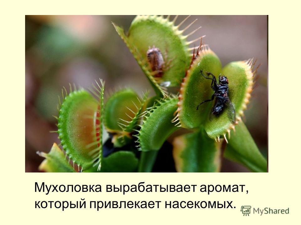 Мухоловка вырабатывает аромат, который привлекает насекомых.