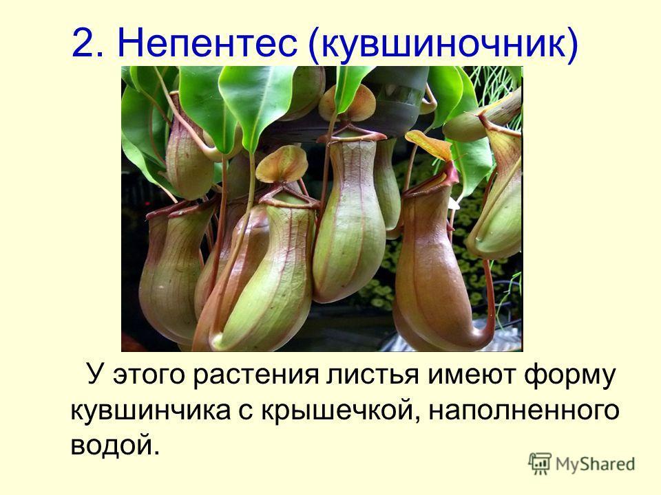 2. Непентес (кувшиночник) У этого растения листья имеют форму кувшинчика с крышечкой, наполненного водой.