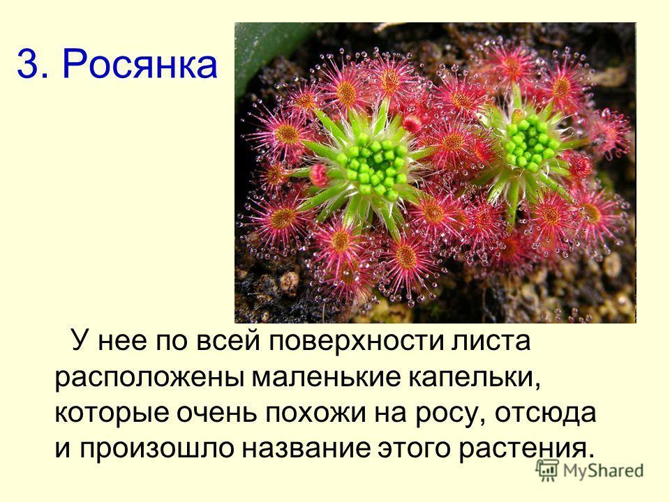 3. Росянка У нее по всей поверхности листа расположены маленькие капельки, которые очень похожи на росу, отсюда и произошло название этого растения.