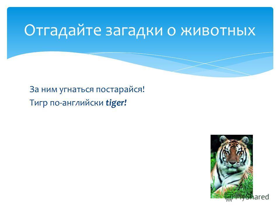 За ним угнаться постарайся! Тигр по-английски tiger! Отгадайте загадки о животных