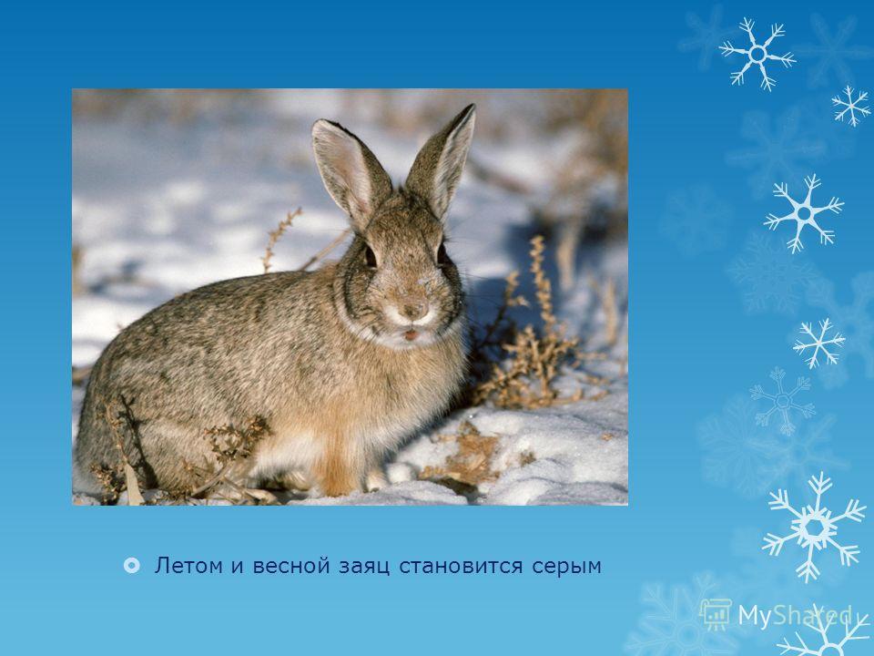Летом и весной заяц становится серым