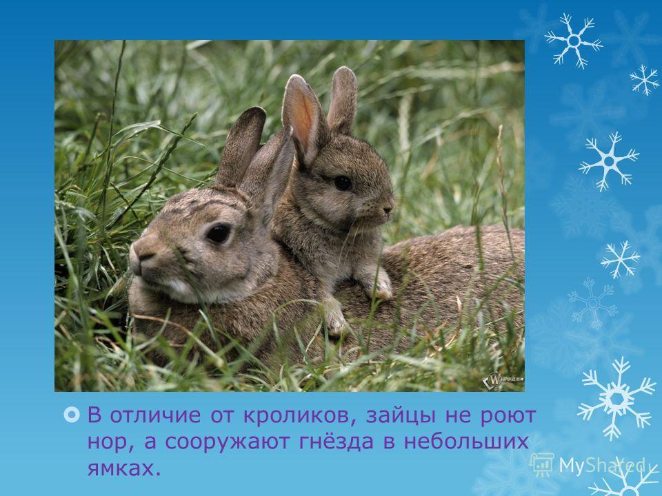 В отличие от кроликов, зайцы не роют нор, а сооружают гнёзда в небольших ямках.
