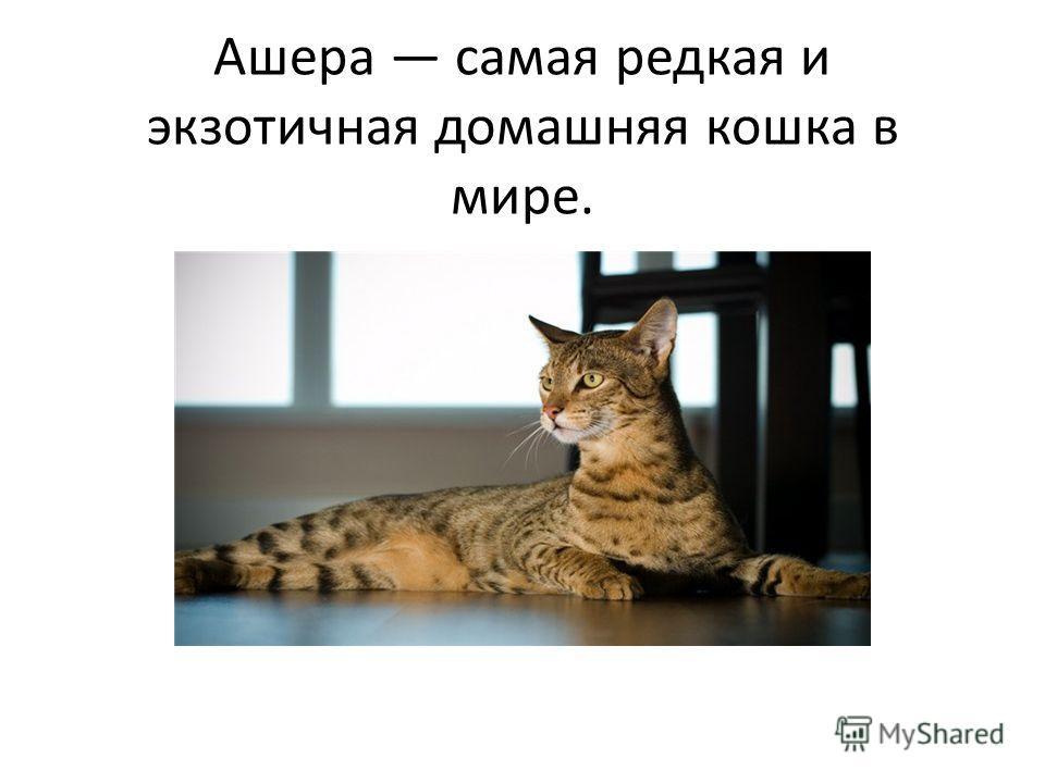 Ашера самая редкая и экзотичная домашняя кошка в мире.
