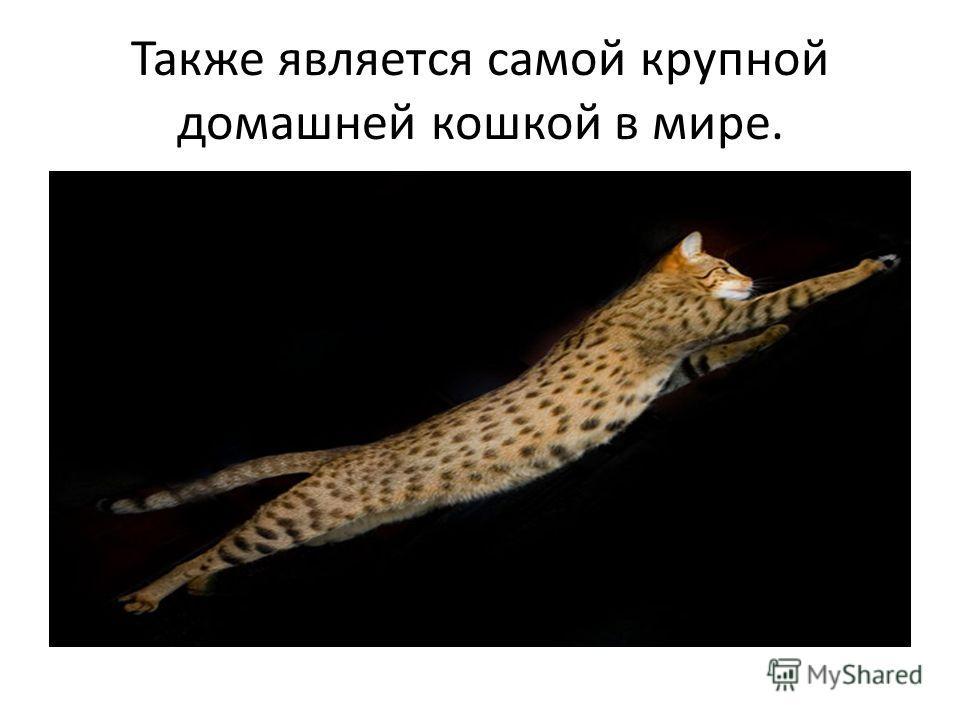 Также является самой крупной домашней кошкой в мире.
