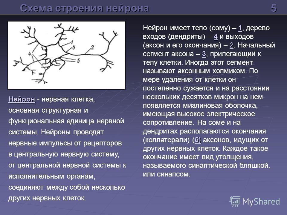 Схема строения нейрона 1 4 2 3 5) Нейрон имеет тело (сому) – 1, дерево входов (дендриты) – 4 и выходов (аксон и его окончания) – 2. Начальный сегмент аксона – 3, прилегающий к телу клетки. Иногда этот сегмент называют аксонным холмиком. По мере удале