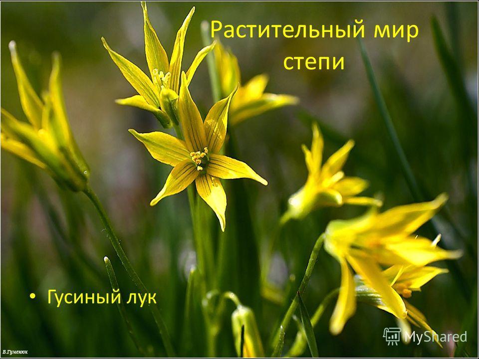 Растительный мир степи Гусиный лук