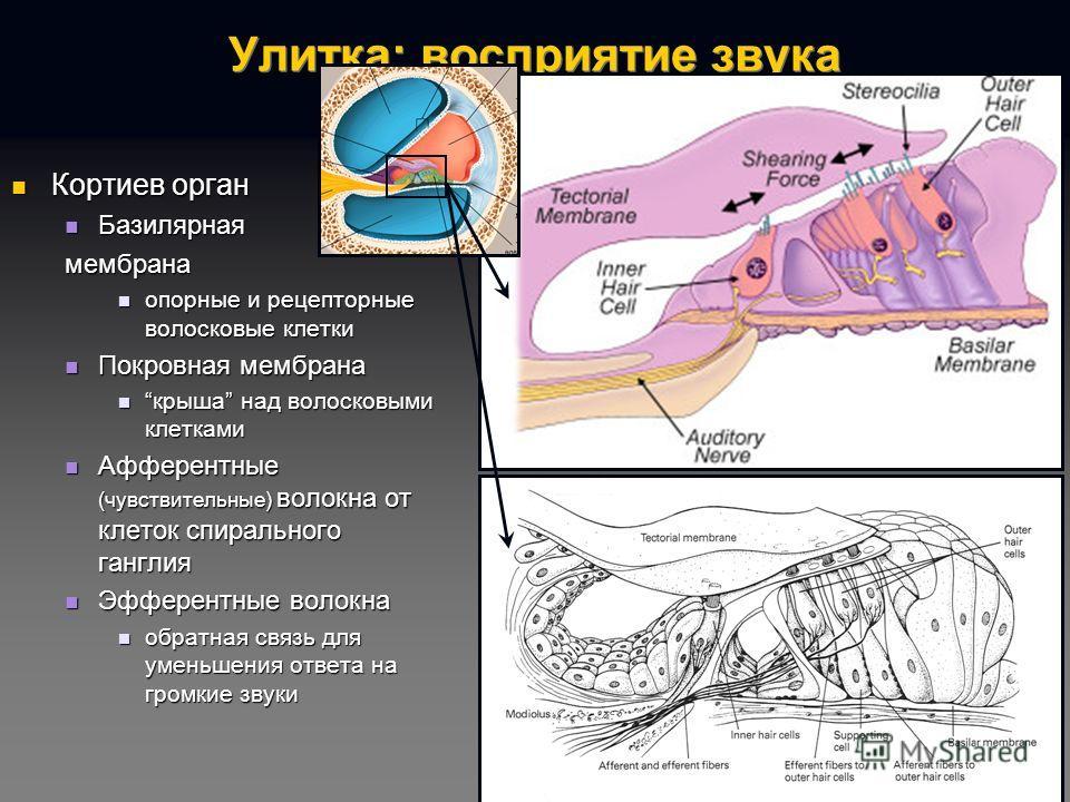 геликотрема фото