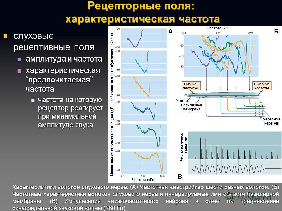 Рецепторные поля: характеристическая частота слуховые рецептивные поля слуховые рецептивные поля амплитуда и частота амплитуда и частота характеристическаяпредпочитаемая частота характеристическаяпредпочитаемая частота частота на которую рецептор реа
