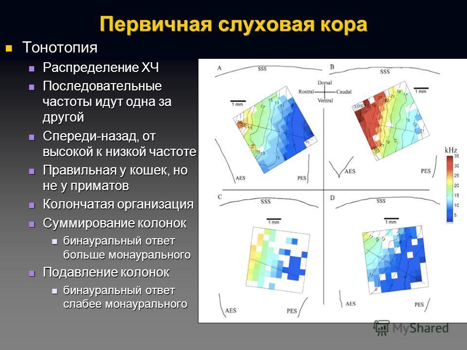 Первичная слуховая кора Тонотопия Тонотопия Распределение ХЧ Распределение ХЧ Последовательные частоты идут одна за другой Последовательные частоты идут одна за другой Спереди-назад, от высокой к низкой частоте Спереди-назад, от высокой к низкой част